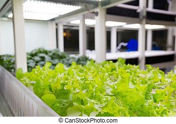 plantas, alface, cultura, hydroponic