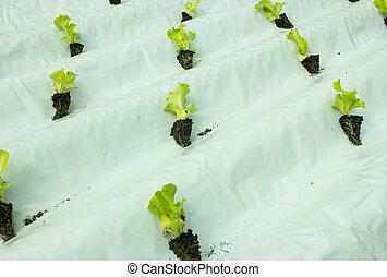 plantas, alface, cultura, hydroponic, pequeno, crescendo