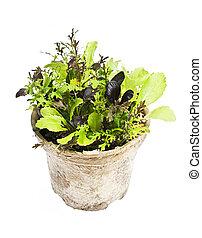 plantas, alface, pote