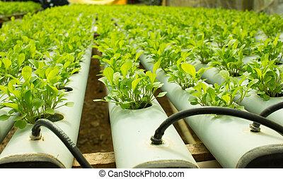 plantas, arugula, crescendo, cultura, hydroponic