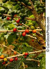 plantas, café, maduro
