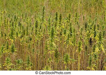 plantas, campo,  cannabis