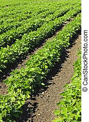plantas, campo, filas, soja