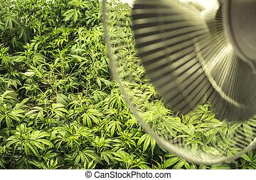 plantas, campo, indoor, marijuana