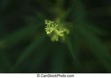 plantas, campos, -, marijuana, cannabis, cânhamo, prados