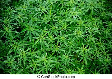 plantas, cannabis, marijuana, jovem