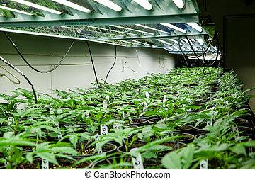 plantas, cannabis, solo, sob, -, marijuana, luzes, série, bebê, novo, potes