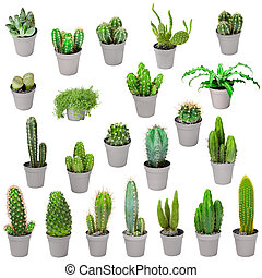 plantas, conjunto, -, interior, ollas, cactus, aislado, ...