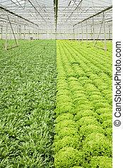 plantas, crecer, invernadero, endibia, ensalada