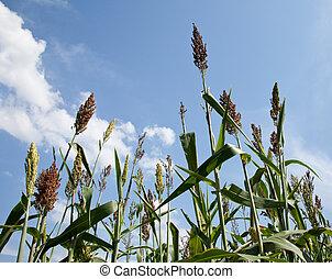plantas, crecido, sorgo, etanol, combustible