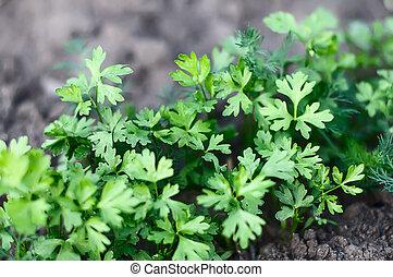 plantas, crescendo, filas, jovem, estufa