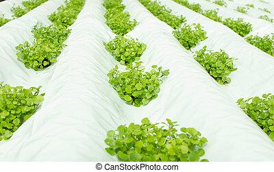 plantas, crescendo, hydroponic, cultura, pequeno, watercress
