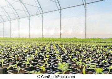 plantas, crescendo, jovem, estufa