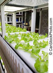 plantas, crescendo, pequeno, cultura, hydroponic