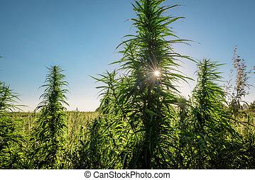 plantas, crescer, marijuana