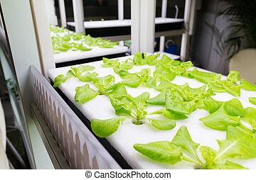 plantas, cultivado, sistema, hydroponic