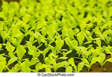 plantas, cultura, pequeno, alface, hydroponic