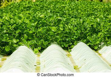 plantas, cultura, watercress, hydroponic