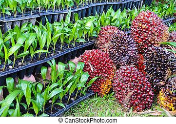 plantas de semilla, de, palma de aceite