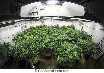 plantas, jardim, marijuana