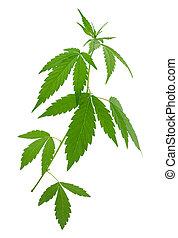 plantas, jovem, cannabis, (marijuana), crescendo, novo