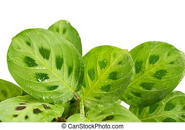 plantas, luz, hojas, multicolor, verde, calathea, brillante