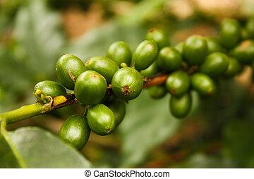 plantas, mature., café