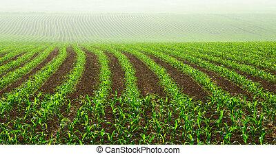 plantas, milho, filas, jovem