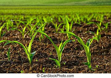 plantas, milho, jovem, sunlit