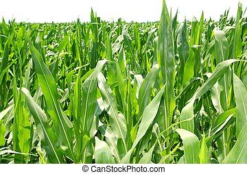plantas, milho, plantação, campo, verde, agricultura