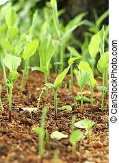 plantas, natural, solo