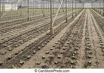 plantas, plantación, andive, invernadero, joven, nuevo