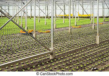 plantas, plantación, ensalada, invernadero, joven, nuevo