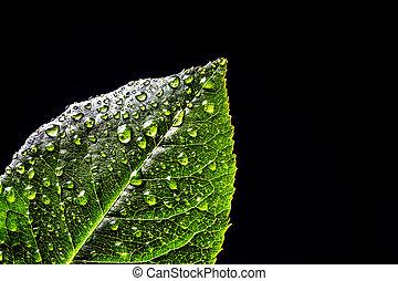plantas, primer plano, hoja, isolated., rocío, agua, fondo verde, fresco, gotas, negro
