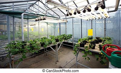 plantas, série, dentro, -, jovem, calor, lâmpadas, estufa,...