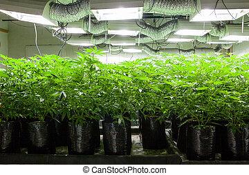 plantas, sacolas, sala, luzes, série, -, marijuana, legal, cannabis, cultivo, sob, crescendo, crescer