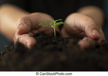 plantas, seu, ricos, solo, marijuana, suavemente, segurando mão