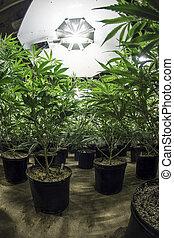 plantas, solo, frondoso, marijuana