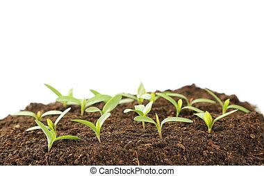 plantas, solo, jovem, experiência verde, branca