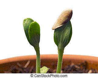 plantas, solo, seedling