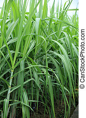 plantas, sugarcane, crescimento, campo