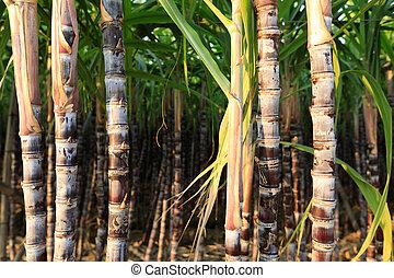 plantas, sugarcane, crescimento, closeup, campo