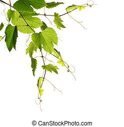 plantas, uvas verdes
