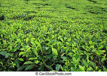 plantatie, thee, achtergrond