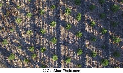 plantation, arbre, aérien, pin, vue