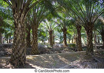 plantation, arbres palme huile