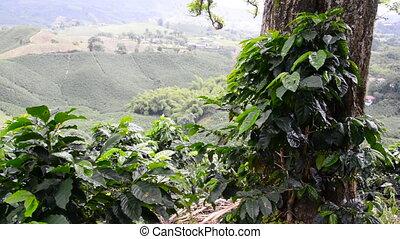 plantation, café, vue