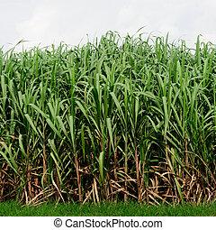 plantation, canne sucre