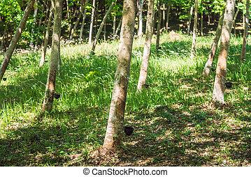 plantation, caoutchouc, rangées, arbres