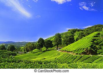 plantation, champs, région montagneuse, cameron, thé